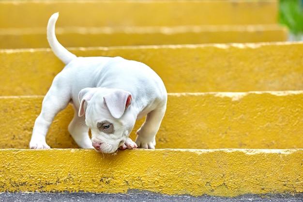 Bulli americano em um fundo concreto, escadas urbanas do cachorrinho bonito e bonito.