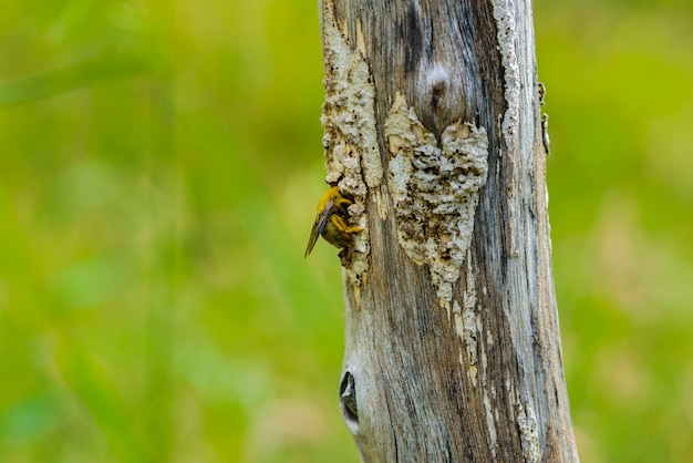 Bumble a captura de abelha em um toco seco