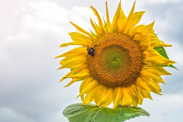 Bumblebee, abelha e aranha na flor amarela de um girassol, na fase de enchimento de sementes