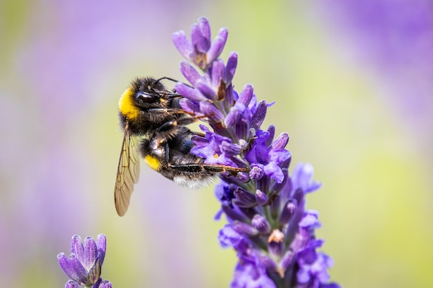 Bumblebee (bombus) em lavender (lavandula) no jardim