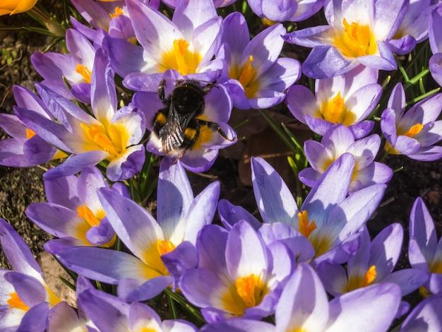 Bumblebee em açafrões florescendo no jardim botânico