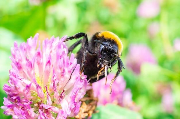 Bumblebee em um trevo