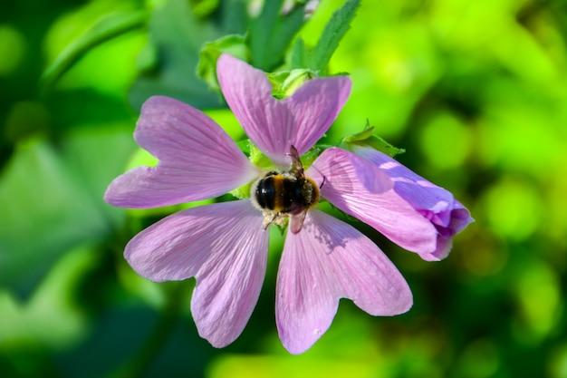 Bumblebee em uma flor. verão.