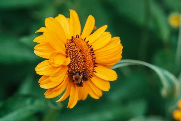 Bumblebee fofo na suculenta flor amarela com centro laranja e pétalas puras agradáveis vívidas. polinização do close-up topinambur floração bonita. zangão coletar néctar na inflorescência em macro.