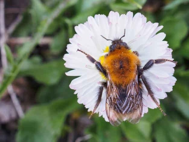 Bumblebee grande rastejando em um dais