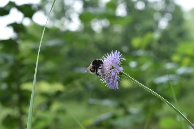 Bumblebee sentado em uma flor na floresta