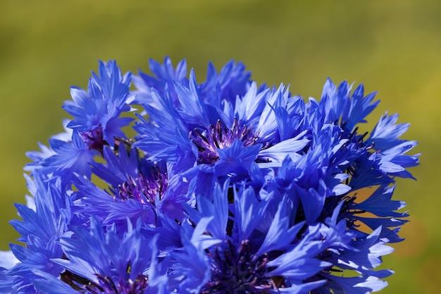 Buquê coletado de centáurea de flores silvestres azuis