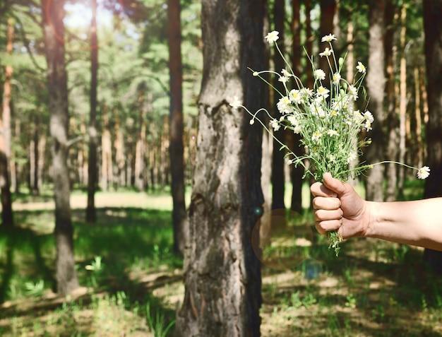 Buquê de chamomiles campo branco em uma mão masculina