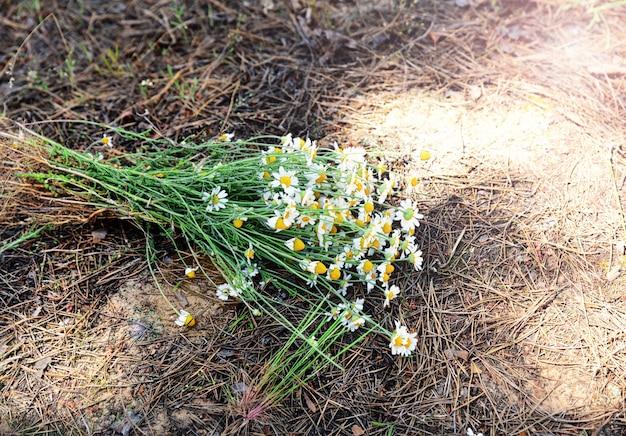 Buquê de chamomiles de campo selvagem