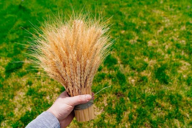 Buquê de espigas de trigo dourado na grama verde na mão. palheiro. o conceito de colheita de cereais.