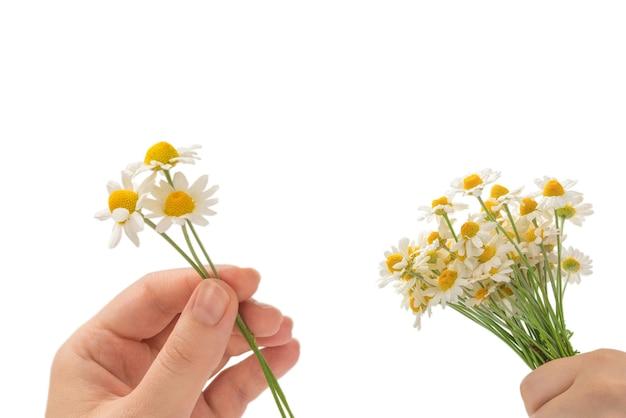 Buquê de margaridas na mão da mulher, isolado no fundo branco.