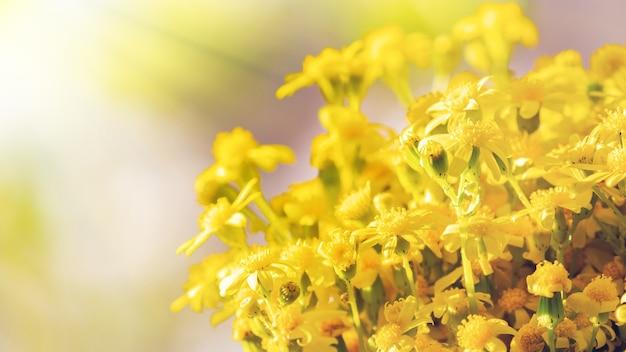 Buquê de margaridas silvestres amarelas