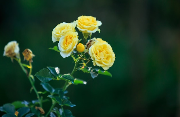 Buquê de rosas amarelas em fundo escuro com espaço de cópia