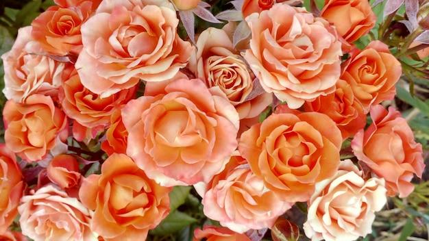 Buquê de rosas laranja e botões crescendo em um jardim
