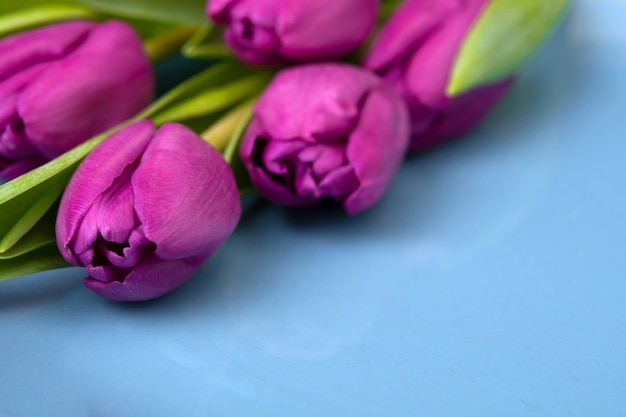 Buquê de tulipas roxas em uma parede azul