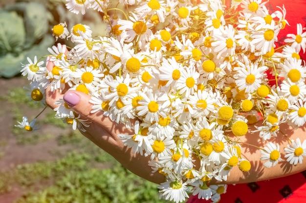 Buquê de verão de margaridas do campo nas mãos de uma jovem com um vestido vermelho