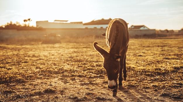 Burro cinzento pastando no campo durante um dia ensolarado