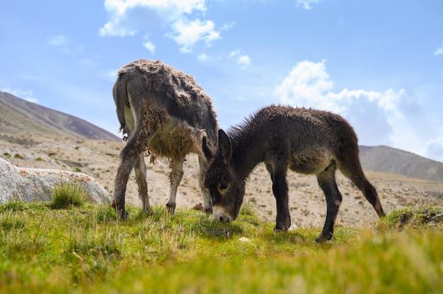 Burros da vida selvagem na montanha