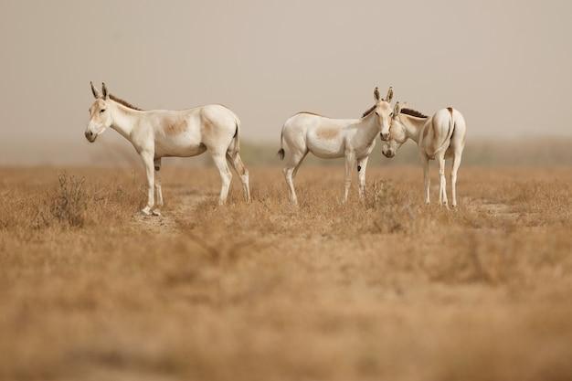 Burros selvagens no deserto