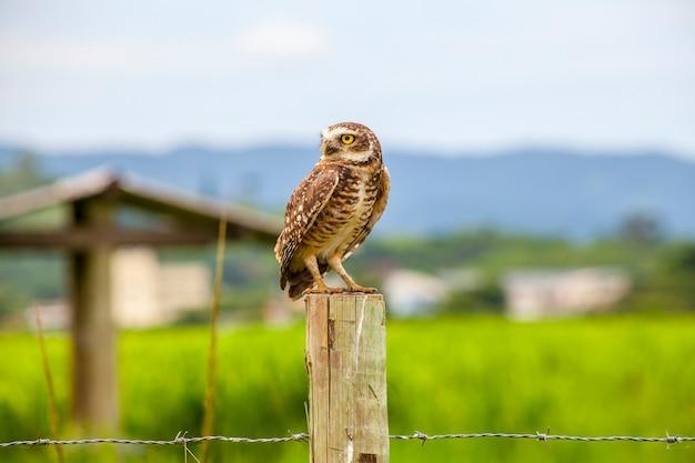 Burrowing owl em um tronco de madeira no rio de janeiro, brasil.
