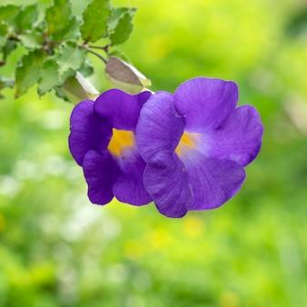 Bush, clock vine (thunbergia erecta (benth.) anderson.) flores roxo-azuladas estão florescendo com um fundo verde borrado.