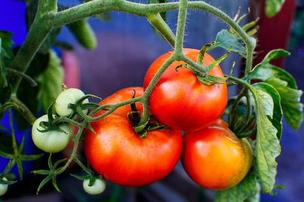 Bush de tomates maduros crescendo no jardim