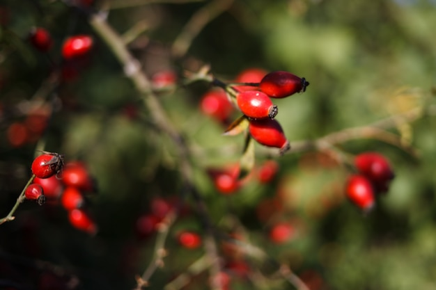 Bush dog-rose com fruta madura que cresce em estado selvagem