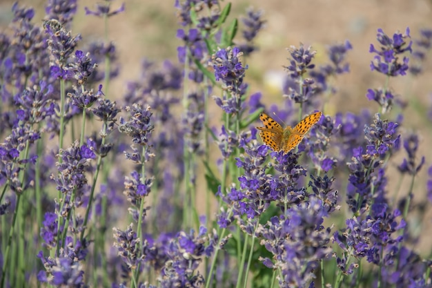 Buterfly on lavender