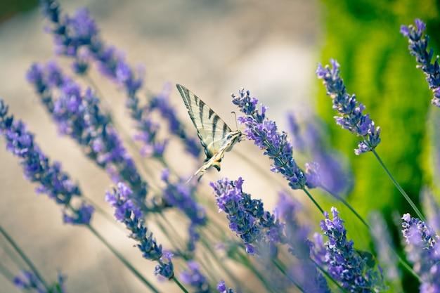 Butterfly em lavender bush. foto tonificada em close-up