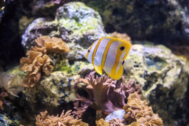 Butterflyfish copperband tailândia debaixo d'água