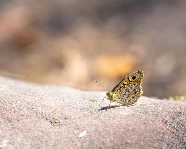 Butterfy waldbrettspiel (pararge aegeria)