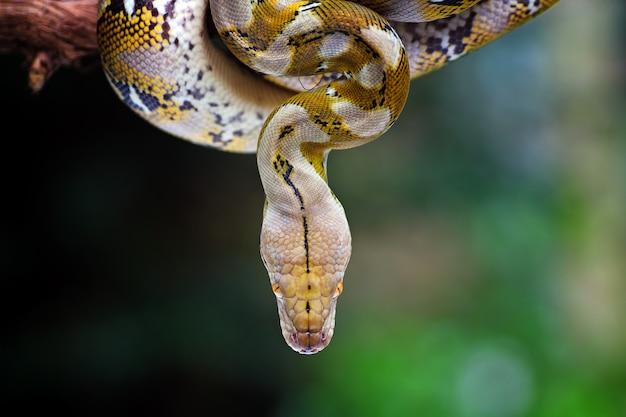 Cabeça cobra pythonidae closeup em fundo natural
