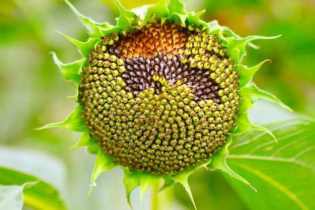 Cabeça com sementes de girassol entre folhas verdes.
