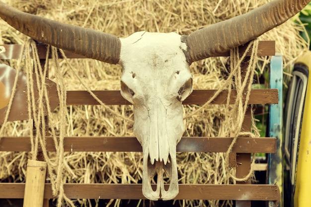 Cabeça crânio de búfalo