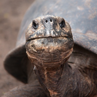 Cabeça da tartaruga gigante de galápagos