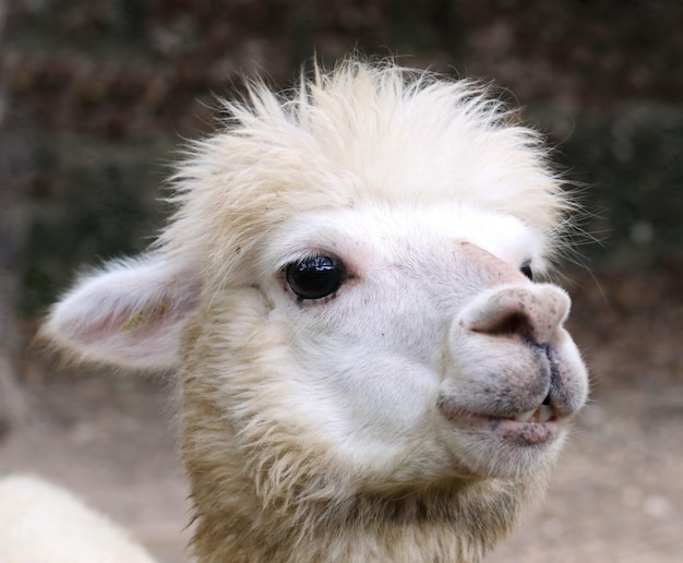 Cabeça de alpaca