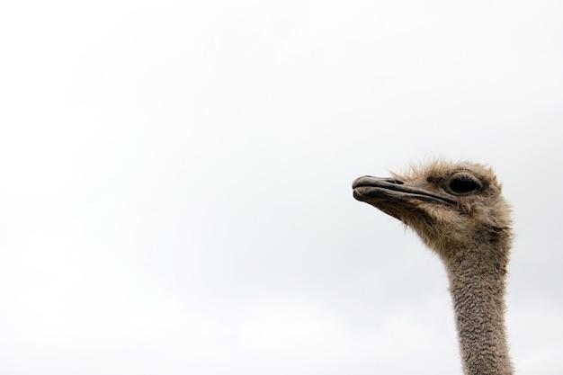 Cabeça de avestruz em um longo pescoço contra o céu copie o espaço.