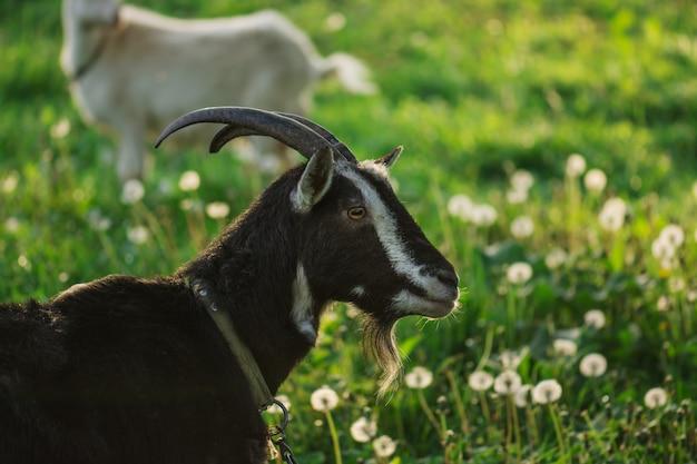 Cabeça de cabra preta. retrato de cabra preta. cabra escura no prado verde verão