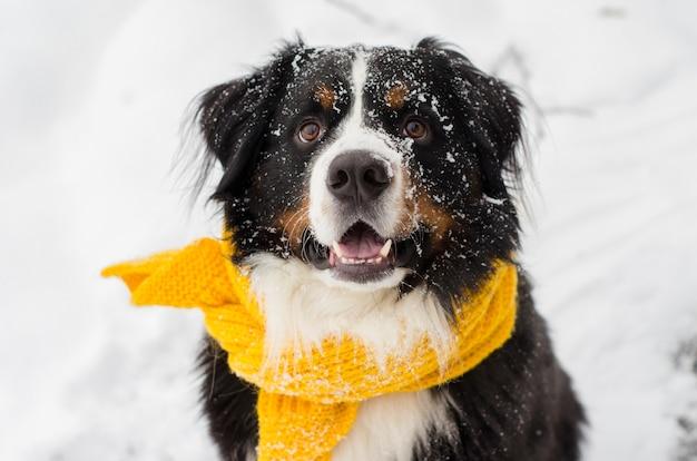 Cabeça de cachorro da montanha bernese com a neve no rosto e lenço amarelo