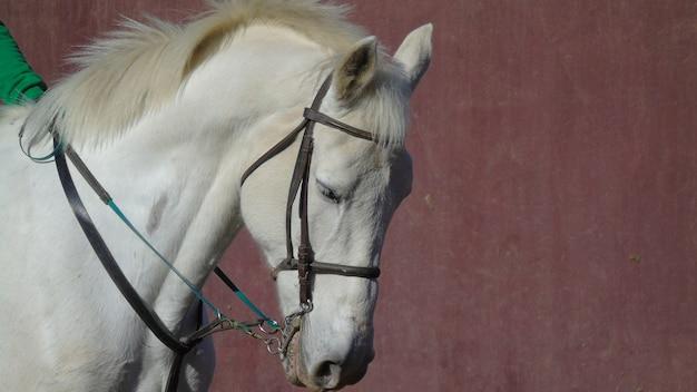 Cabeça de cavalo branco