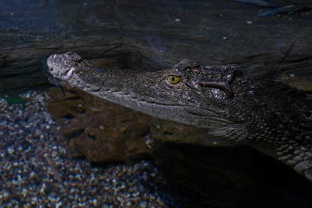 Cabeça de crocodilo close-up. réptil perigoso.