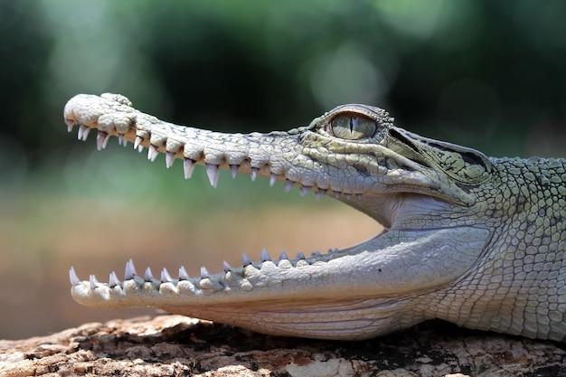 Cabeça de crocodilo tomando banho de sol na madeira