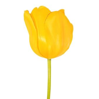 Cabeça de flor de tulipa amarela close-up vista isolada no conceito de minimalismo de fundo branco