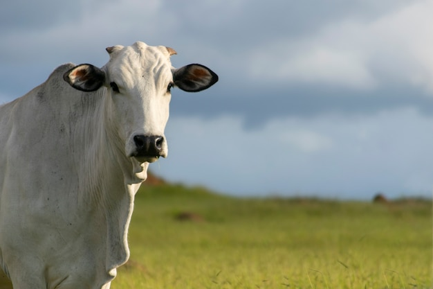 Cabeça de gado nelore com espaço para texto