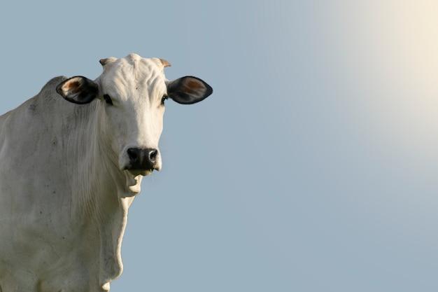 Cabeça de gado nelore, com fundo de céu azul e espaço para texto.