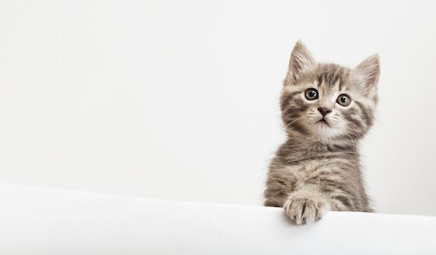 Cabeça de gatinho com a pata erguida, espreitando sobre o cartaz de sinal branco em branco. gatinho de estimação curiosamente espiando por trás de um fundo branco. gato de bebê malhado mostrando modelo de cartaz com espaço de cópia.