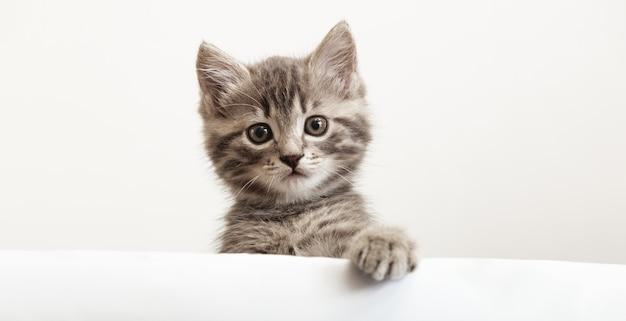 Cabeça de gatinho com a pata erguida, espreitando sobre o cartaz de sinal branco em branco. gatinho de estimação curiosamente espreitando por trás de um fundo branco. gato de bebê malhado mostrando o modelo de cartaz. banner longo da web com espaço de cópia.