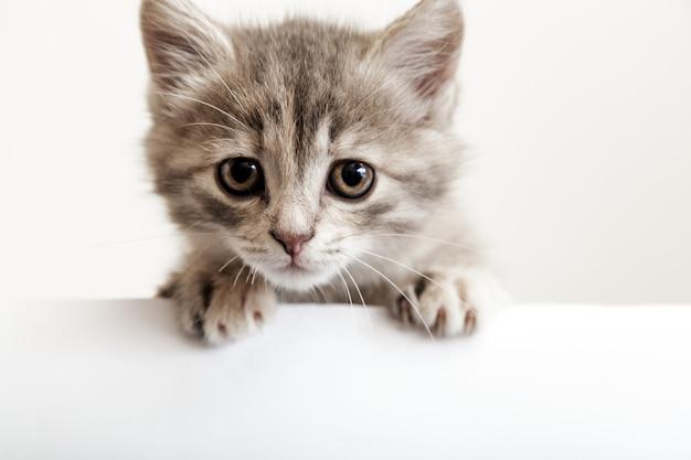 Cabeça de gatinho com patas para cima, espreitando sobre o cartaz de sinal branco em branco. gatinho triste com olhos grandes espreitando curiosamente por trás de um fundo branco. gato de bebê malhado mostrando modelo de cartaz com espaço de cópia.