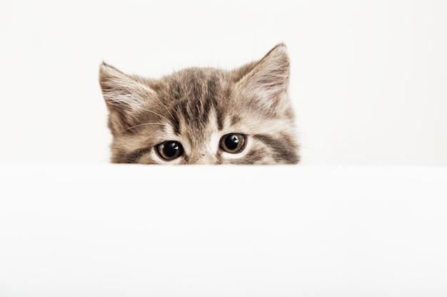 Cabeça de gatinho espreitando sobre o cartaz de sinal branco em branco. gatinho de estimação curiosamente espreitando por trás do fundo da bandeira branca com espaço de cópia. gato de bebê malhado no modelo de cartaz.