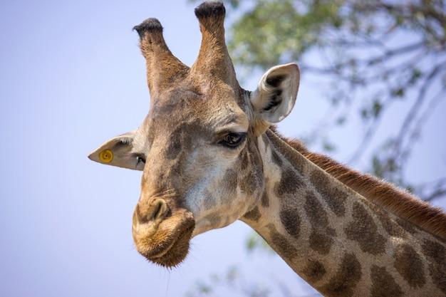 Cabeça de girafa no zoológico nacional, tailândia